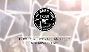 How to rehydrate and feed a starving owl