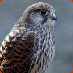 Kissy Common Kestrel