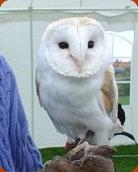 Lilo The Barn Owl