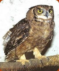 Magellan Eagle Owl