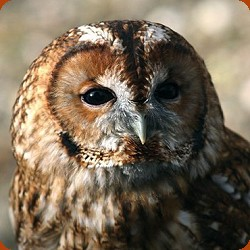 Tawny Owl Close Up