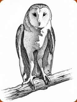 Red Cliffs Desert Reserve Barn Owl