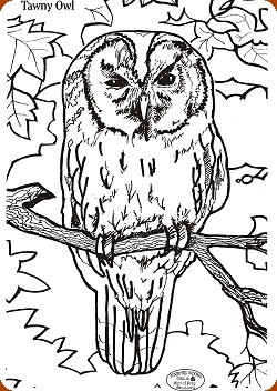 Tawny Owl Colouring Competition