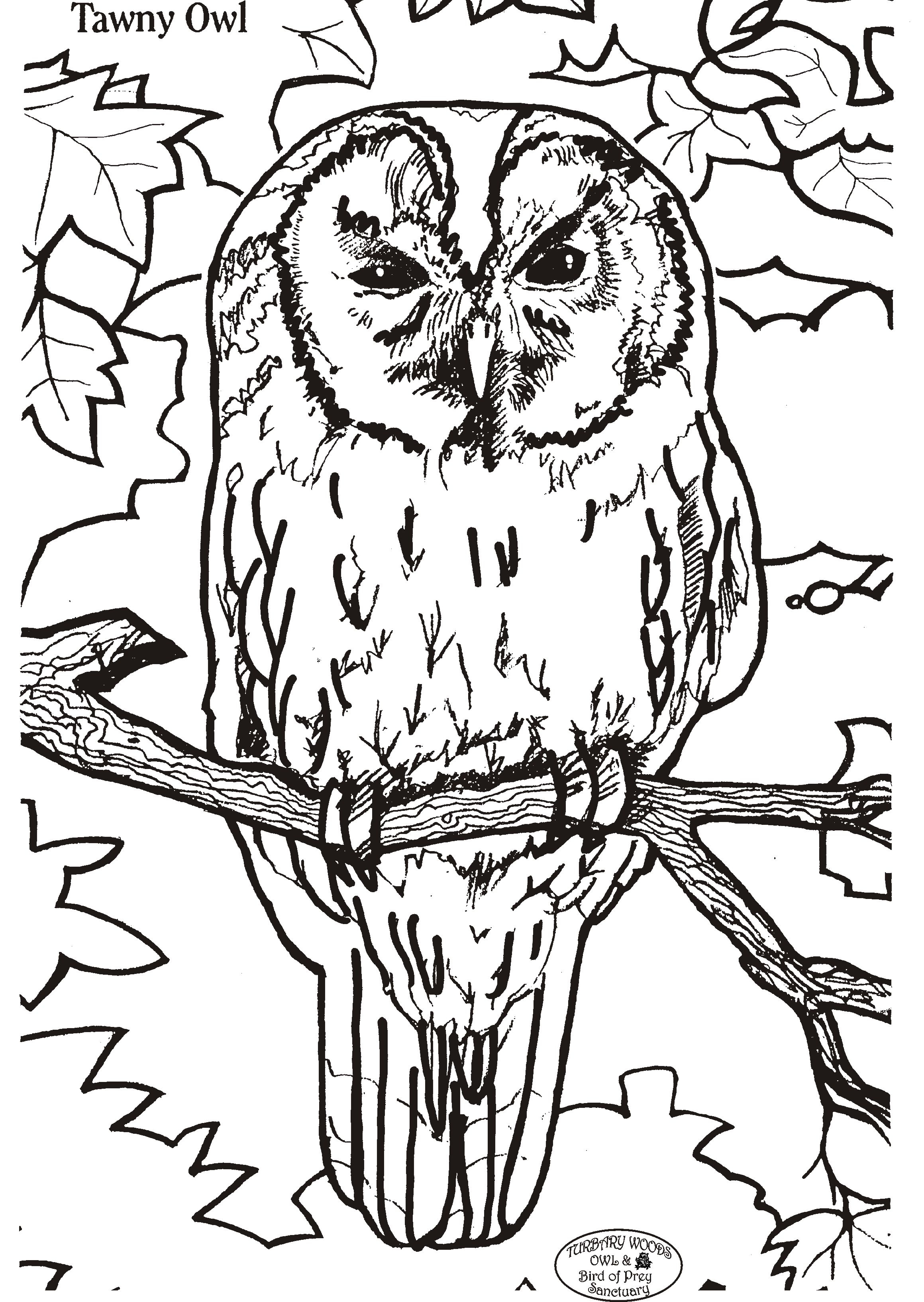 tawny owl colouring competition fun stuff turbary woods