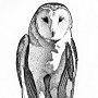 Red Cliffs Reserve Barn Owl