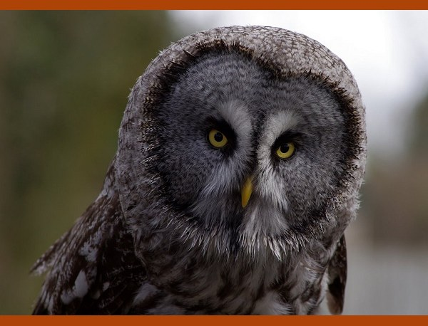 Shaggy the Great Grey Owl