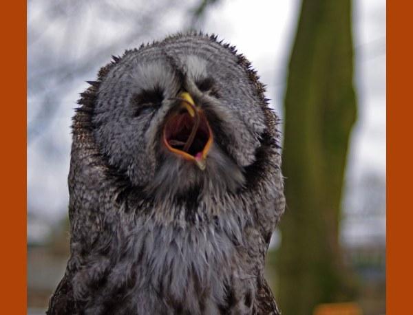 Shaggy the Great Grey Owl