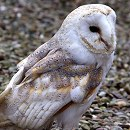 Barn Owl By Danny Weiss