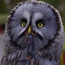 Shaggy Great Grey Owl by Danny Weiss