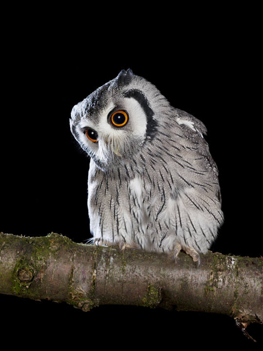 Owl by David Toase