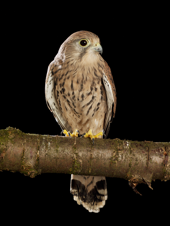 Kestrel by David Toase