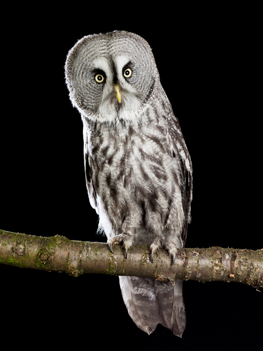 Great Owl by David Toase