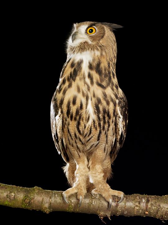 Eagle Owl by David Toase