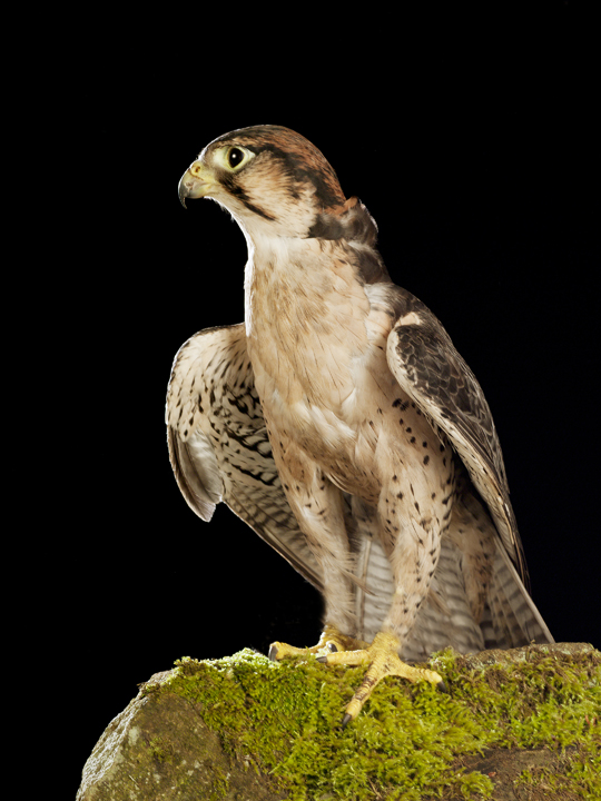 Hawk by David Toase