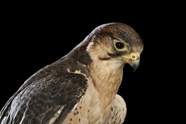 Hawk by David Toase