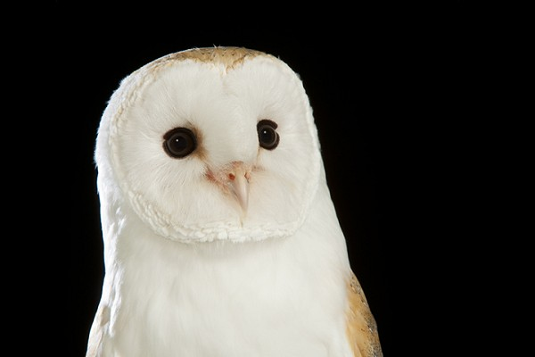 Barn Owl by David Toase