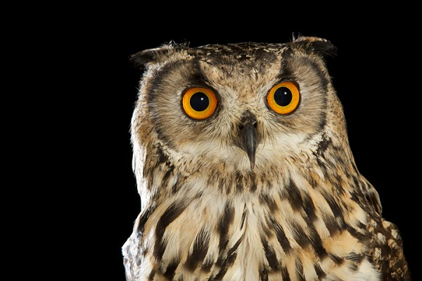 Eagle Owl by David Toase