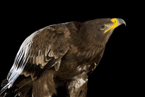 Steppe Eagle by David Toase