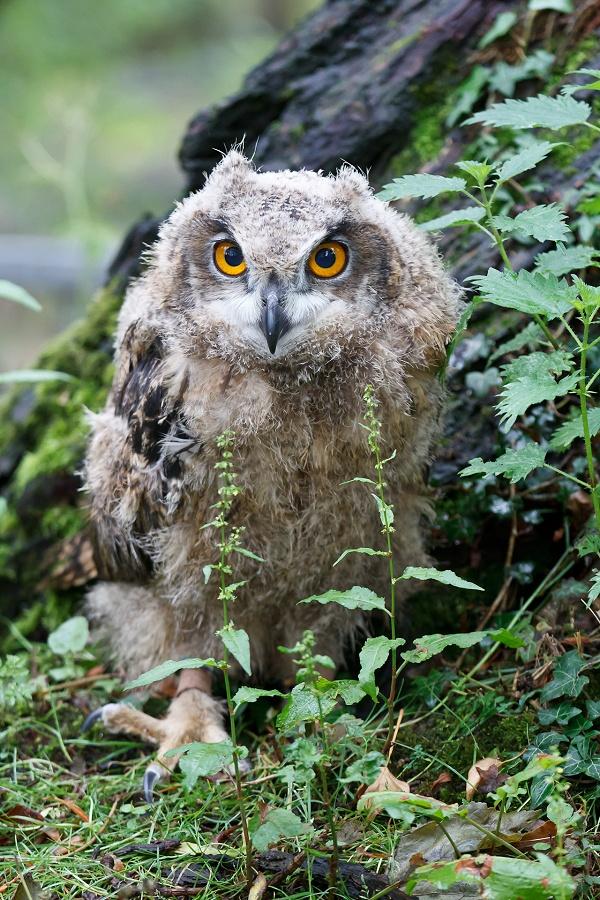 Baby Owl by John McGibbon