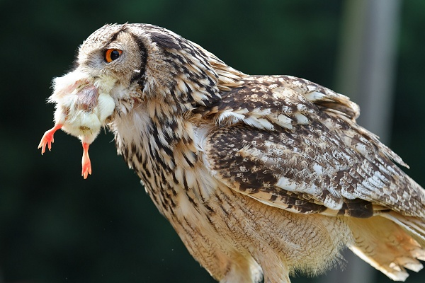 Owl Eating
