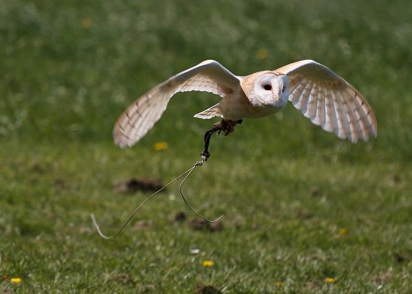 Barn Owl Flying