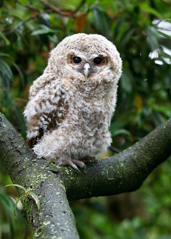 Baby Owls by John McGibbon