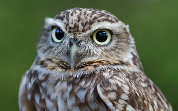 Owl Head Closeup