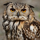 Owl Closeup by John McGibbon