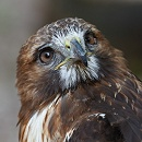 Hawk Closeup by John McGibbon