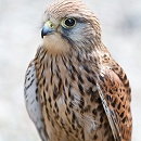Kestrel by John McGibbon