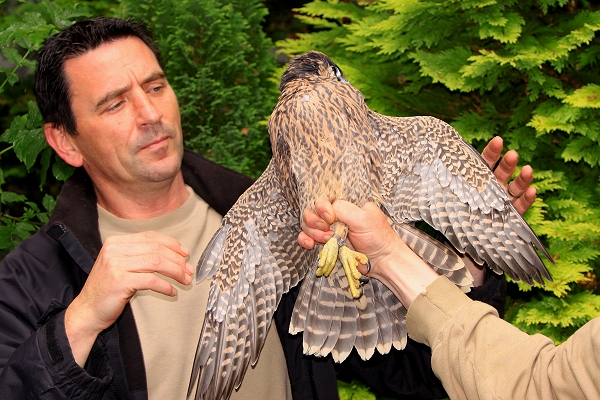 Andy examines a wild rescued peregrine