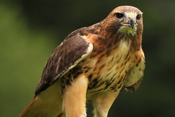 Charlie Red Tail Hawk