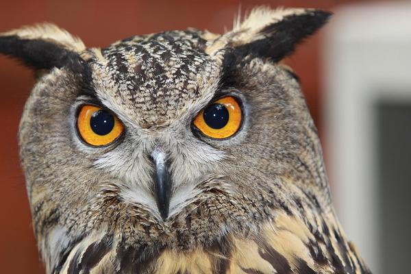 Checker Eurasian Eagle Owl