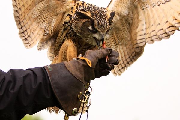 Checkers Eurasian Eagle Owl in flight