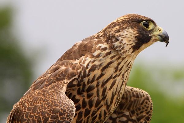 Dora Peregrine Falcon