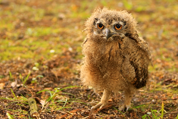 Kiora Baby Bengal Eagle Owl