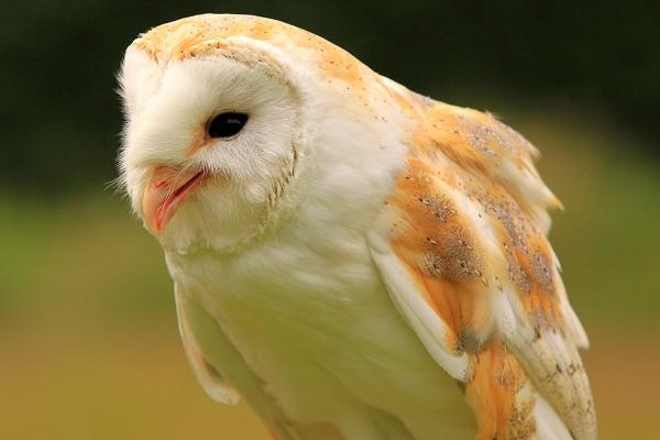 Lilo Barn Owl taken by Lance Cunningham