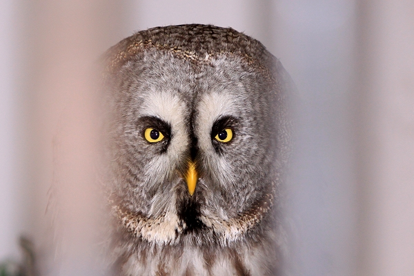 Shaggy Great Grey Owl taken by Lance Cunningham