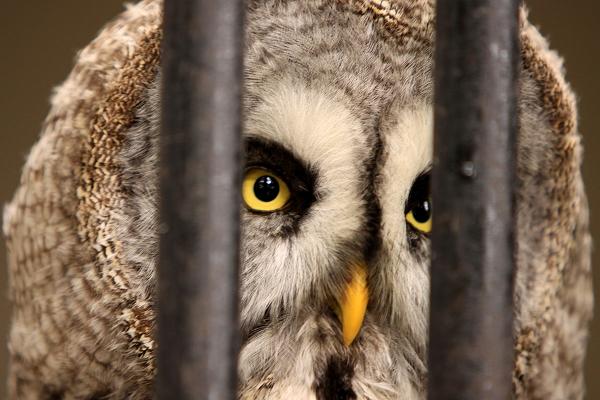 Shaggy Great Grey Owl taken by Lance Cunningham