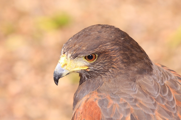 Sky Harris Hawk taken by Lance Cunningham