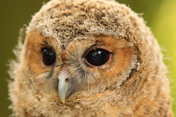 Rescued Tawny Owlet taken by Lance Cunningham