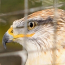 Buster Ferruginous Hawk