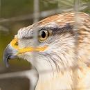 Buster Ferruginous Hawk