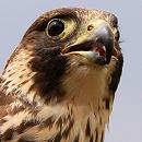 Peregrine Falcon Dora