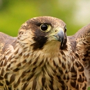 Dora The Peregrine Falcon