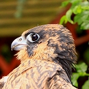 Fledgeling Peregrine Falcon