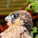 Fledgeling Peregrine Falcon
