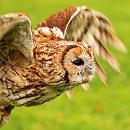 Knowley Tawny Owl
