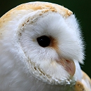 Lilo Barn Owl