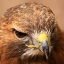 Nanook Harris Hawk